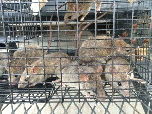 Cumming Rat Trapping