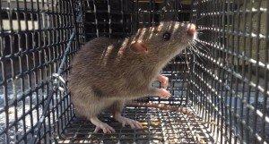 Norway Rat Trapping - Rat Removal - Rat Control Cumming GA