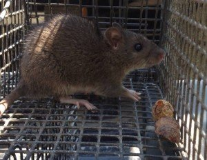 Norway Rat Trapping - Rat Removal - Rat Control Atlanta