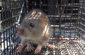 Rat Trapping - Rat Removal in Atlanta GA