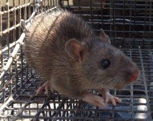 Rat Trapping in Atlanta GA