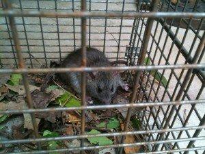 Rat trapped in Johns Creek Georgia