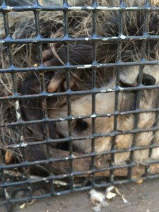 dawsonville possum removal