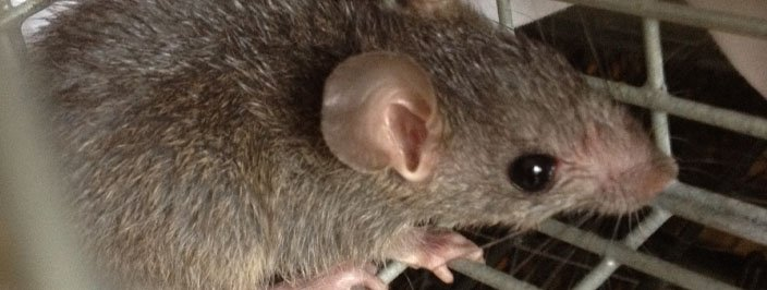 Rat removed from basement in Johns Creek