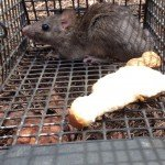 Alpharetta Rat Trapping Job 2014