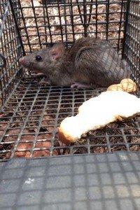 Alpharetta Rat Trapping Job 2014