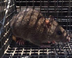Crabapple Rat Trapping