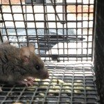 Juvenile Rat Trapped in Cumming Rat Trapping Job
