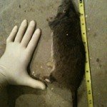 Massive 18 inch Norway Rat Removed from Atlanta