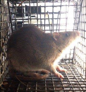 Norway Rat Trapping Atlanta 1