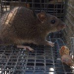 Norway Rat Trapping - Rat Removal - Rat Control Atlanta