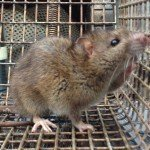 Norway Rat removed from Dehlonega GA