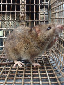 Norway Rat removed from Decatur GA