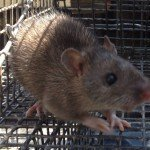 Roswell Rat Removal Job