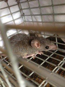 Rat Control Johns Creek - Crabapple