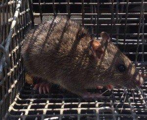 Rat Removal in Atlanta GA