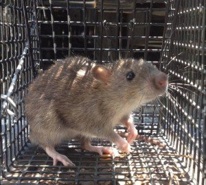 Rat Removal in Atlanta which were Norway Rats
