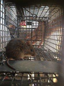 Rat trapping job in Alpharetta GA