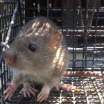 Rat Trapping - Rat Removal in Atlanta GA