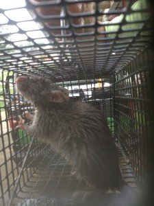 Rat removed from a garage in Milton Georgia