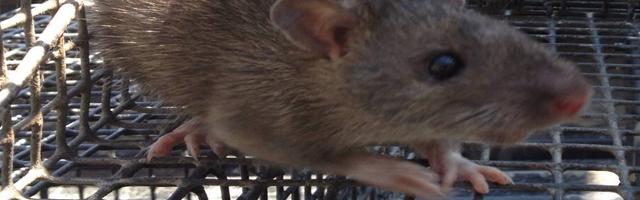 rat control dawsonville
