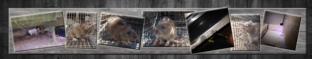 Rat Trapping – Exterminating Svc