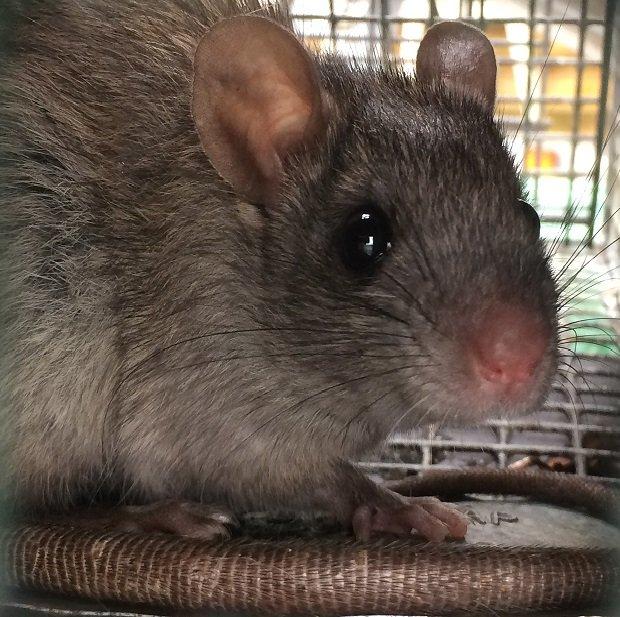 ELLIJAY RAT tRAPPERS